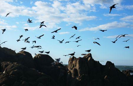 breach: Seagull birds hunting on a rock breach