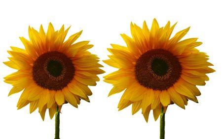 Sun flowers on a netherland field photo