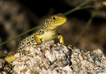 big green and blue lizard on a sunny rock photo