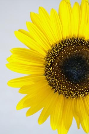 pleasantness: Part of a flower sunflower against a dark background