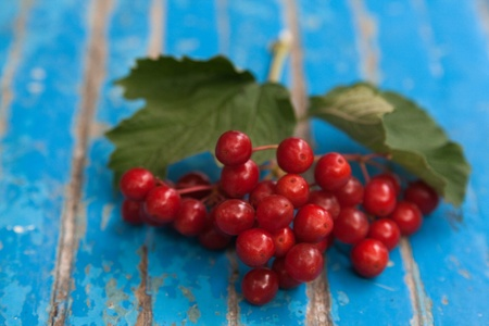 guelder rose berry: Bunch of red guelder-rose on the blue wooden surface