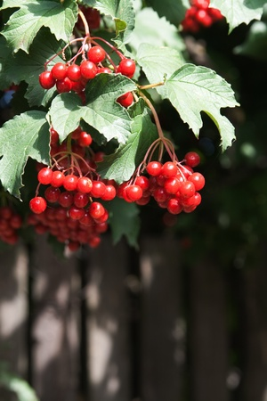 viburnum: Grapes red viburnum on the bush Stock Photo