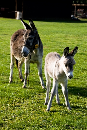 baby ass: Mom s ass and a small donkey on the green grass
