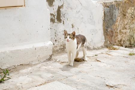 sidi bou said: White and gray cat walking the streets of Sidi Bou Said, Tunisia.