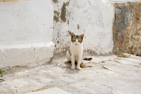 gray cat: White and gray cat walking the streets of Sidi Bou Said, Tunisia.