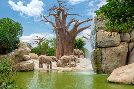 Afrikaanse olifant Bioparc, Valencia, Spanje Stockfoto