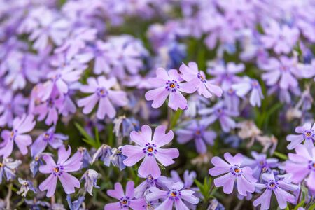 The Phlox Subulata is a perennial herbaceous plant, evergreen, ground covering a spring flowering