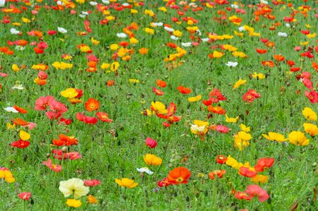 Field of red and yellow poppies