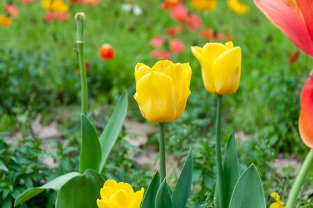 Yellow tulips in the foreground Stockfoto