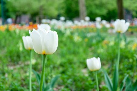 White tulips on a blurred background Stockfoto