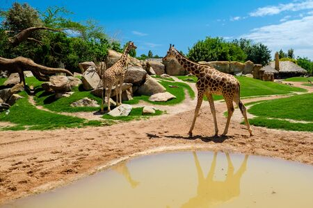 The giraffe is a genus of African artiodactyl mammal to which four species belong; it is the tallest living terrestrial animal, as well as the largest ruminant. Its most striking main features are the extremely long neck and legs, the horn-like ossicones and the peculiar coloring of the coat.