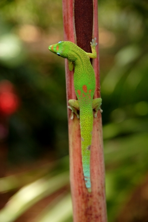 Gecko found on the island of Kona Hawaii Stock Photo