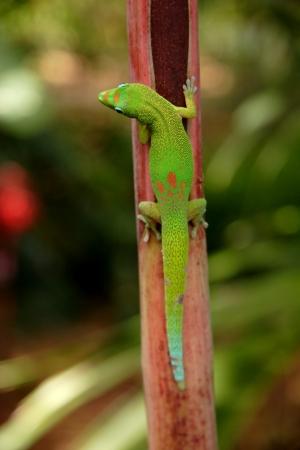 kona: Gecko found on the island of Kona Hawaii Stock Photo