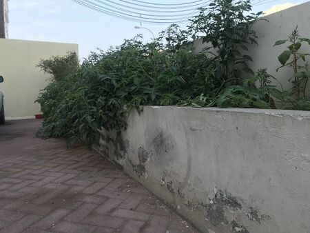 Old Planter box constructed by block walls full of tomato plants over grown above the planter and sliding into downside due to high growth of plants in residential apartments