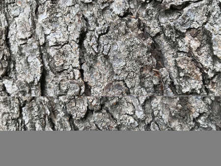 Grey or ash color wood background of an tree skin of main stem Banco de Imagens
