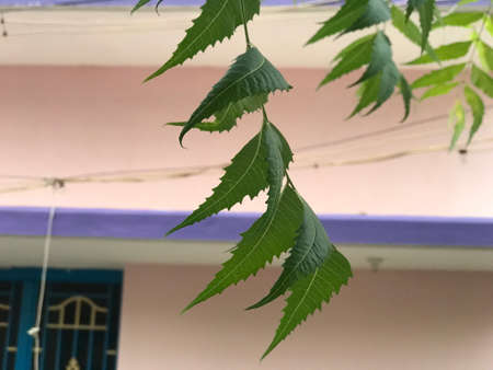 Green neem leaves in the tree is an ayurvedic medicine which can cure diseases 版權商用圖片
