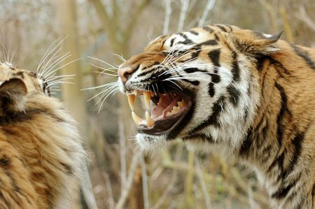 fiercely: Tigress fiercely growling at the tiger.