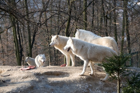 perilous: Pack of polar wolves  stand  about prey  on the hill. Stock Photo