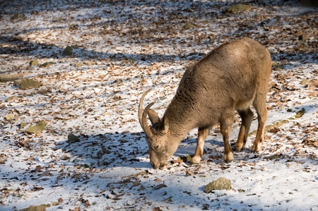 Siberian ibex graze in winter. Stock Photo - 9648505