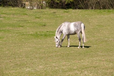 dapple horse: Gray dapple horse   grazing in the meadow.  Stock Photo