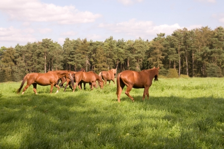 Horses graze in the pasture  photo