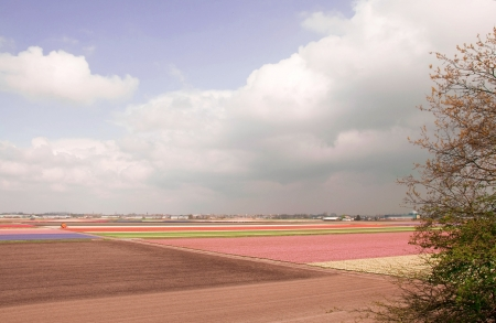 Fields of tulips and hyacinths in the Netherlands   photo