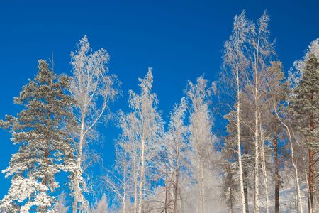 Winter forest and snow and blue sky photo