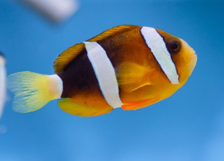 Amphiprion ocellaris Stock Photo - 7344027