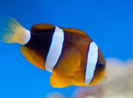 Amphiprion ocellaris Stock Photo - 7412558