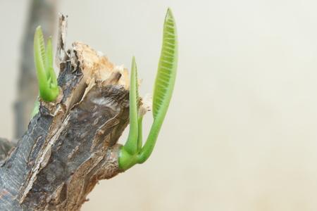 Leelawadee sprout
