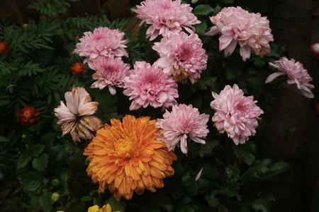 aster flowers at Coban Rais Stock Photo