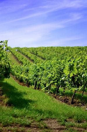 grapevine: Grapevine landscape
