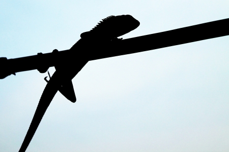lizard hanging on cable - Silhouette