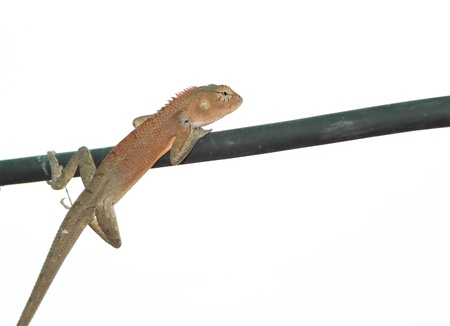 lizard on cable white background