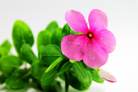 Periwinkle flowers Stock Photo