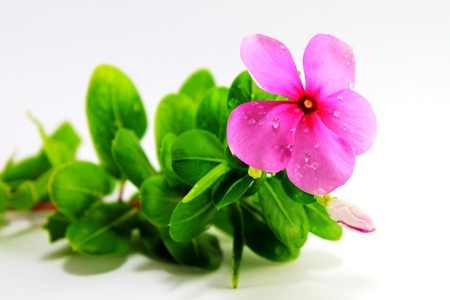 Periwinkle flowers Stock Photo