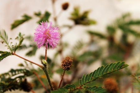 Mimosa pudica flower - sensitive plant Stock Photo