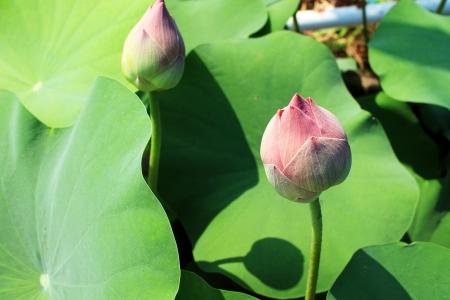 twins lotus