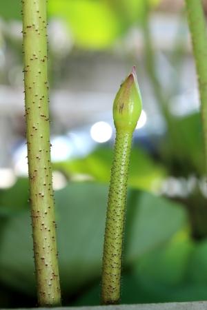 Baby lotus flower