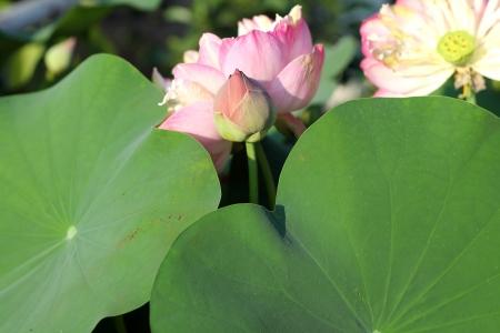Lotus Flowers Blossom