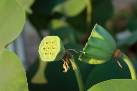 Wilted Flower Lotus