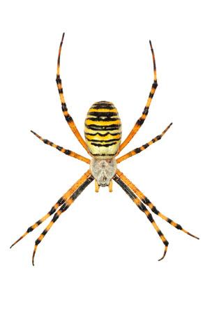 argiope: Isolated argiope spider