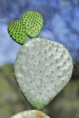 opuntia: Cactus opuntia Stock Photo