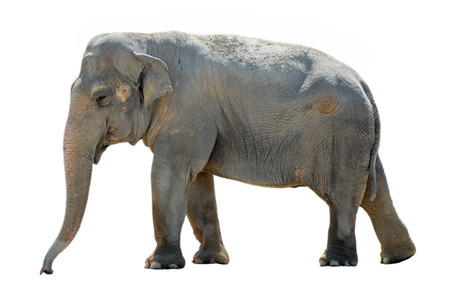 Isolated elephant Фото со стока