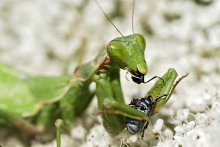devour: Mantis eating insect Stock Photo