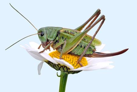 sepals:  grasshopper on a daisy Stock Photo