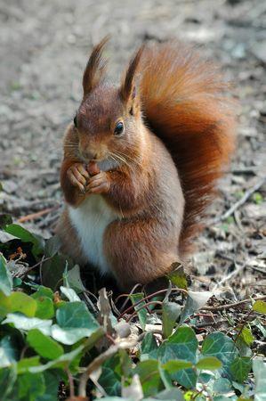 flink: Rote Eichh�rnchen essen einer Haselnuss