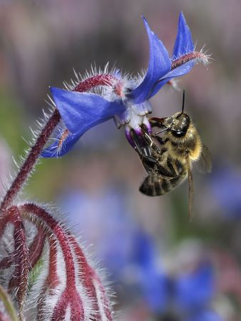 Honey bee on blue flower Stock Photo - 1746830