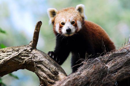 Portrait of red panda Фото со стока