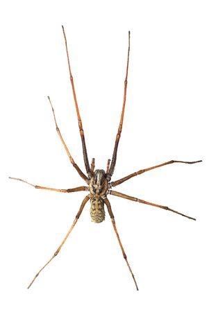 Isolated tegenaria spider Фото со стока